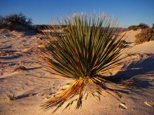 Растенија кои растат во пустината