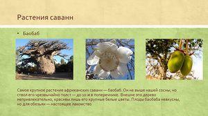 Растенија на саваната: неверојатен свет на невообичаена вегетација