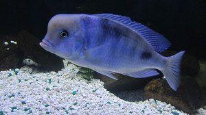 Одгледување аквариумски риба сини делфин