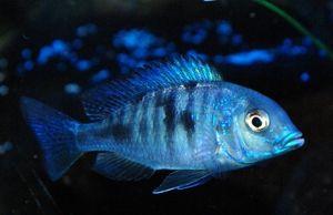 Сина делфин - убава риба за аквариум