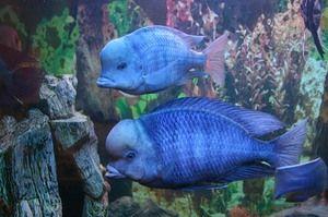 Делфин сина: големината на аквариумот, исхраната и грижата