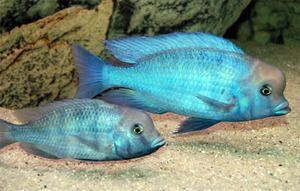 Цихлид или сини делфин - убава риба