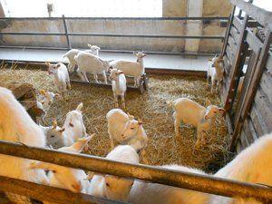 Одгледување и чување кози за почетници