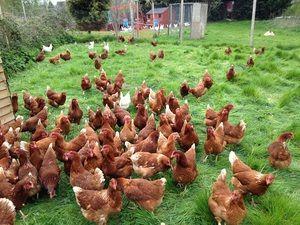 Одгледување кокошки дома. Совети за почетници