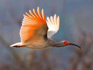 Ретки птици - јапонски ибис