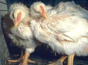 Респираторна микоплазмоза кај симптомите и третманот на пилешко пилешко