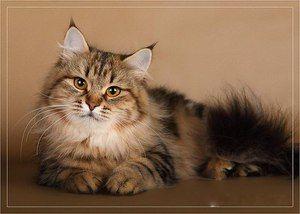 Руска сибирска мачка: опис и карактеристики на расата