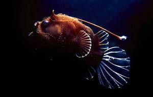 Риба-фенер или морска риба: опис и опис