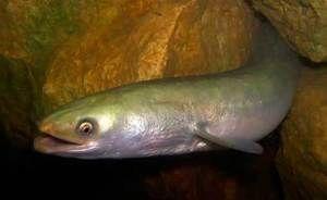 Како изгледа риба од јагула?
