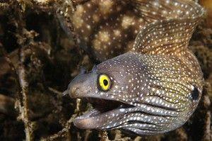 Опис на риба јагула