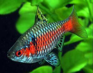 Риба боцки: видови, грижа, репродукција