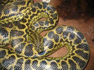 Најдолгата змија во светот, големи змии