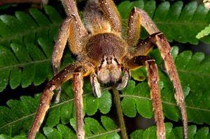 Најголемите и најопасните пајаци во светот