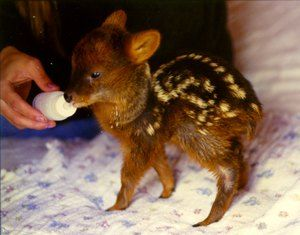 Големината на најмалиот цицач