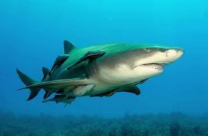 Лимон од ајкула