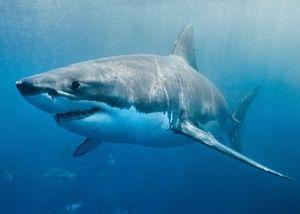 Бела ајкула