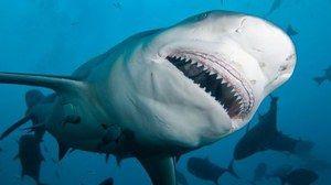 Ајкула tuporylaya