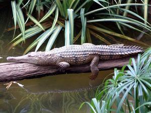 Австралиски крокодил