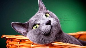 Тајните на успехот на руската сина мачка
