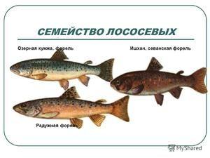 Кои риби припаѓаат на семејството лосос