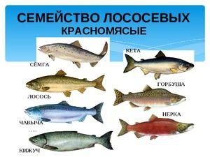 Каков вид на риба лосос семејство