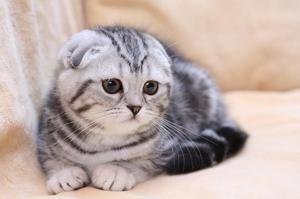 Природата на Fold мачки