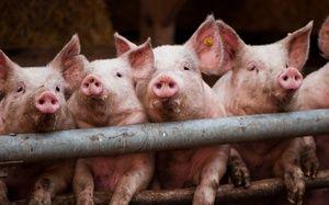 Симптоми и третман на свински болести