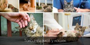 Симптоми и третман на токсоплазмоза кај мачки