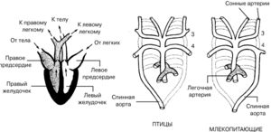 Колку комори се наоѓаат во срцето на птиците