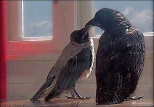 Колку години може да живеат врана и врани