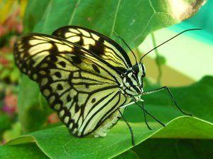 Пеперутка зелка