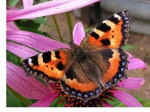 Пеперутка уртикарија