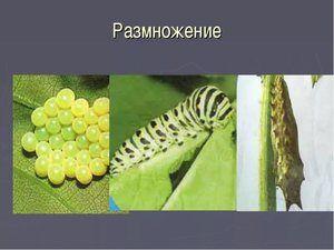 Репродукција на пеперутка