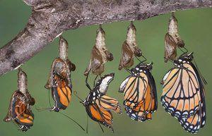 Развој на пеперутка од хризали