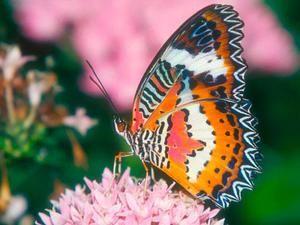 Колку пеперутки живеат