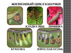 Колку долго живеат пеперутките?
