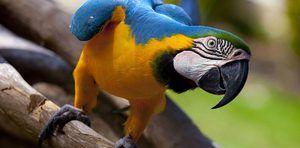 Очекувано траење на животот на папагалот