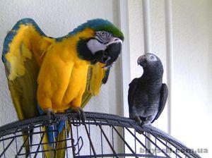 Како да се грижите за големи папагали