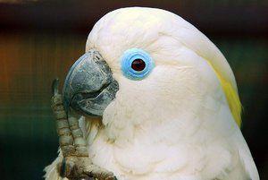 Колку долго живее cockatoo