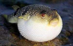Смртоносен опасен отровен деликатес - риба фугу