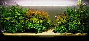 Содржината на анабијата nana во аквариум