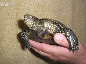 Содржината на европската мочуринска желка дома