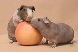 Две свињи од скинки