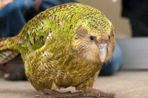 Сов папагат kakapo и опис на птици без лет