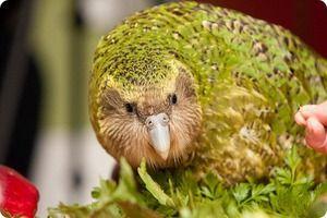 Какапо, или популарен сов