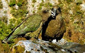 Сова папагали на Какапо