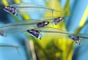 Стакло со сог - што е оваа риба