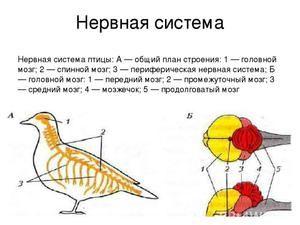Структура на нервните и екскреторни системи на птици. Смисла органи