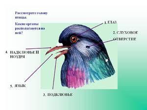Нервниот систем на птица - генералниот план на структурата