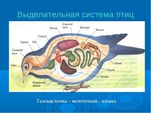 Систем за екскреторни птици